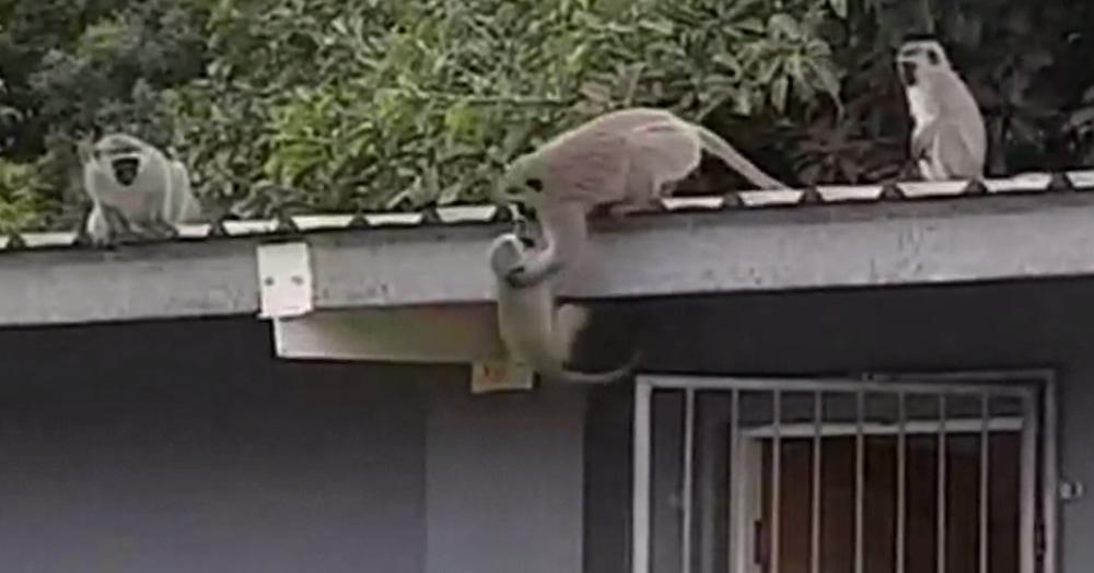 В сети появилось видео встречи обезьянки со своей семьёй после трёхнедельной разлуки. Никто и не предполагал, что обезьяны могут быть настолько эмоциональны