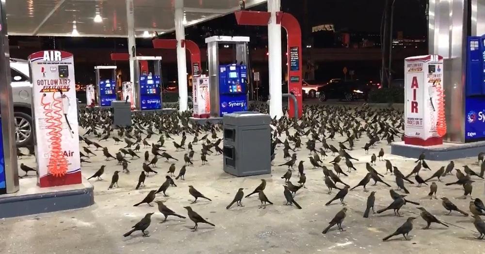 Огромная стая птиц захватила заправочную станцию и напугала клиентов. Выглядело всё как в фильме ужасов, но оказалось, что этому есть вполне разумное объяснение