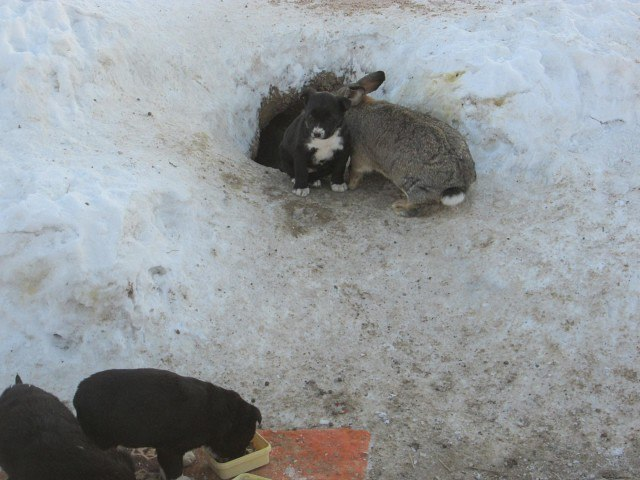 26bwjdn2kho - Этот ушастый товарищ доказал, что кролик — это не только ценный мех, но и героический спасатель. Для щенков