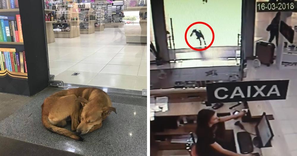 В сети появилось видео, на котором пёс решил утащить книгу из книжного магазина. Неизвестно, как такая идея пришла в его голову, но его жизнь после этого круто изменилась