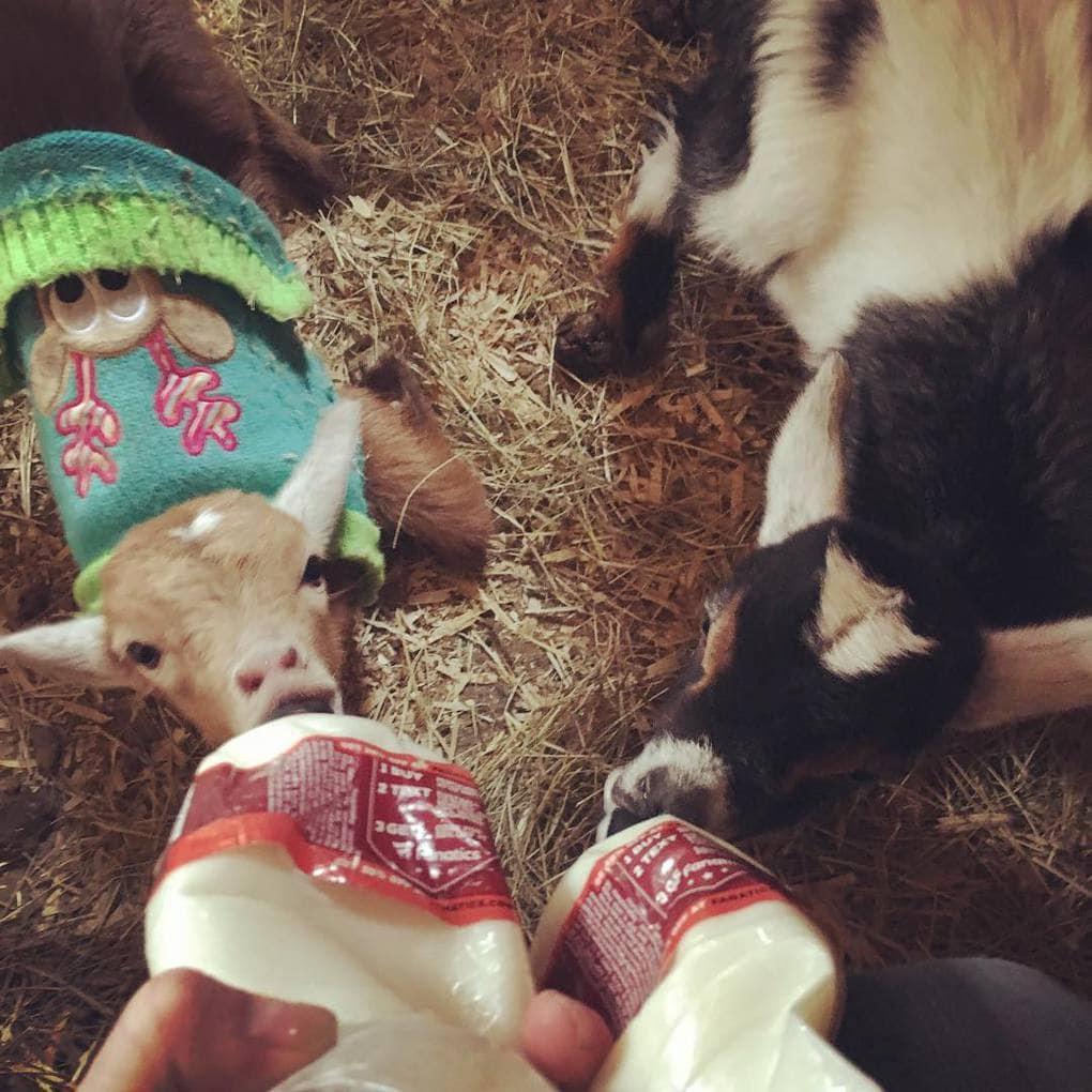 bentleysbarnyard_26068638_350294022047584_1046714084432543744_n Эта американка очень любит животных. Однажды она купила свинку, чтоб её не съели, но свинка оказалась с сюрпризом
