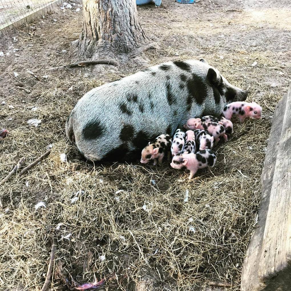 bentleysbarnyard_28428506_1829884483710249_8275868067712466944_n Эта американка очень любит животных. Однажды она купила свинку, чтоб её не съели, но свинка оказалась с сюрпризом