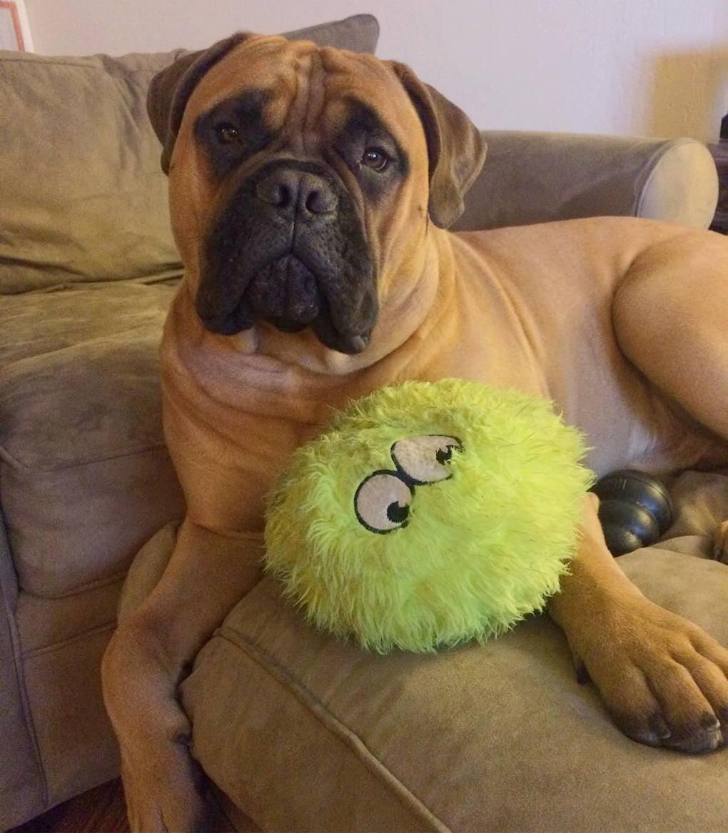 captainbrutus 16464880 591706474360804 3283500032480772096 n - Этот пёс очень любил свой мяч, но однажды добровольно с ним расстался. Хозяева не ожидали такого поступка