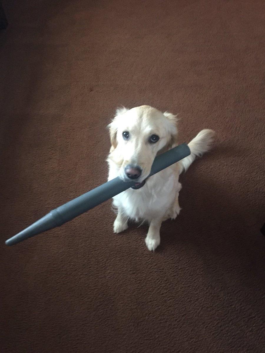 dyl1hv9u0aahlxd - У этой собаки появилась привычка приносить хозяину всё, что она видит. И у неё на это есть веская, хоть и весьма эгоистичная причина