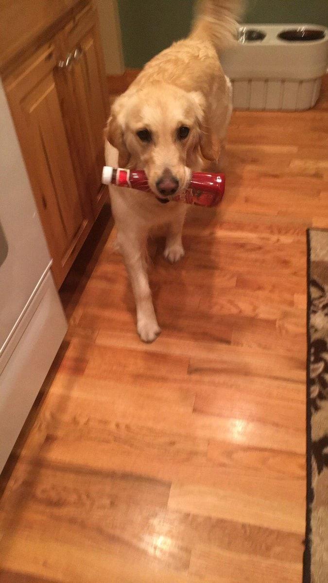 dyl1wlzu0aaxja5 - У этой собаки появилась привычка приносить хозяину всё, что она видит. И у неё на это есть веская, хоть и весьма эгоистичная причина