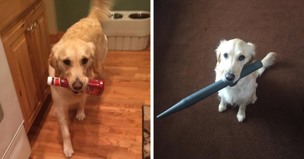 У этой собаки появилась привычка приносить хозяину всё, что она видит. И у неё на это есть веская, хоть и весьма эгоистичная причина