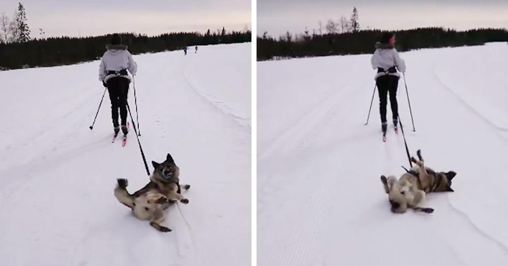 «Вези меня, человек!» — пёс без мотивации отказался следовать за лыжницей и решил поваляться в снегу. Хозяйке оставалось только смириться