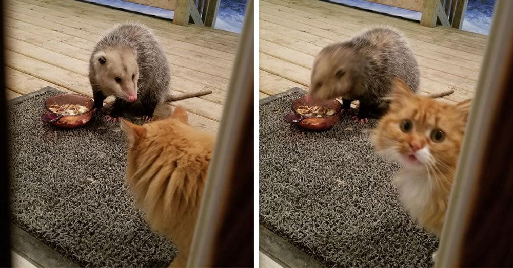 Реакция этого котика на опоссума, нагло пожирающего его еду, бесценна! И она становится всё более эмоциональной с каждым кадром