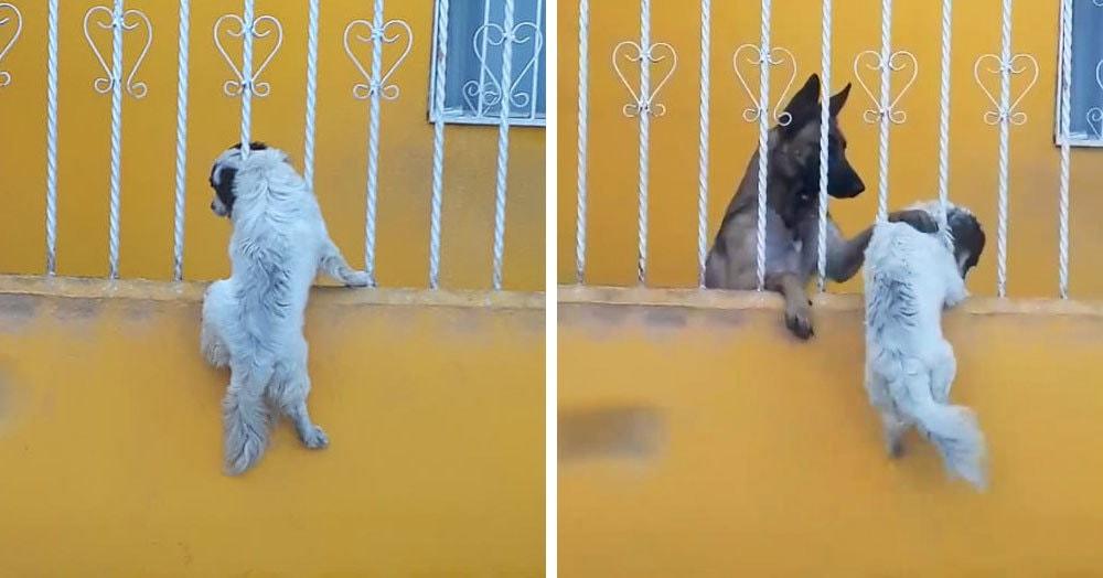 Маленькая собачка пыталась пролезть сквозь перила, но неожиданно застряла. Всё могло бы закончиться печально, но тут на помощь подоспел её друг