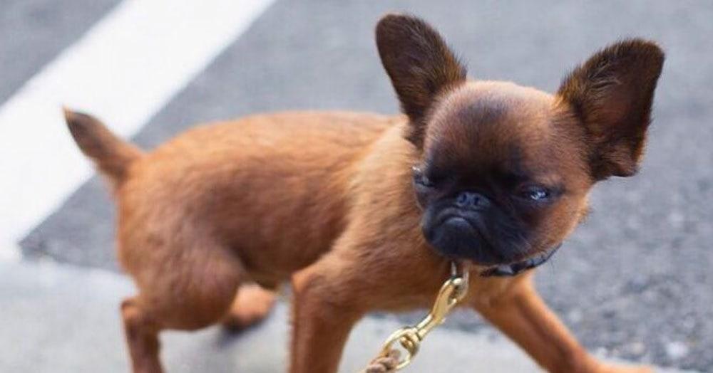 Этот пёс одним своим взглядом заставляет всех окружающих чувствовать себя самыми никчёмными существами на планете. Но люди всё равно его обожают