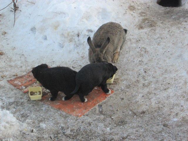 rwfrbhmbusy - Этот ушастый товарищ доказал, что кролик — это не только ценный мех, но и героический спасатель. Для щенков