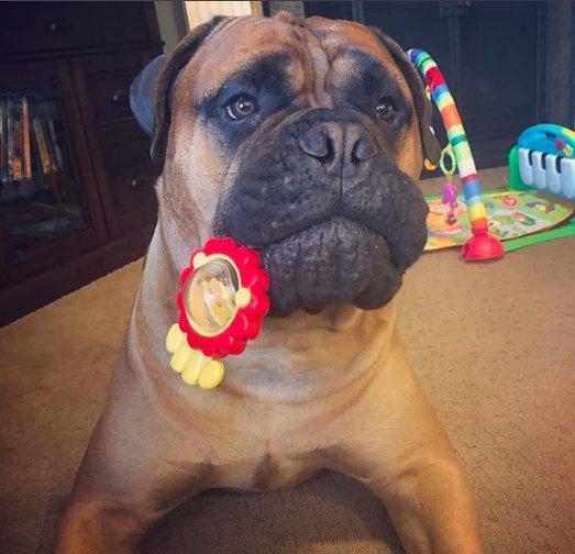 tmg article tall 11 - Этот пёс очень любил свой мяч, но однажды добровольно с ним расстался. Хозяева не ожидали такого поступка