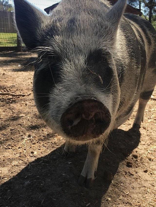 tmg-article_tall Эта американка очень любит животных. Однажды она купила свинку, чтоб её не съели, но свинка оказалась с сюрпризом