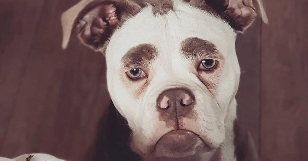 Эта собачка выглядит так, будто она давно разочаровалась в жизни, но всё дело в её бровях
