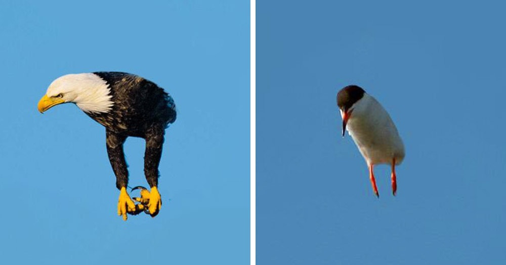 Кто-то в интернете заметил, что птицы с убранными в фотошопе крыльями выглядят круто. И понеслось!
