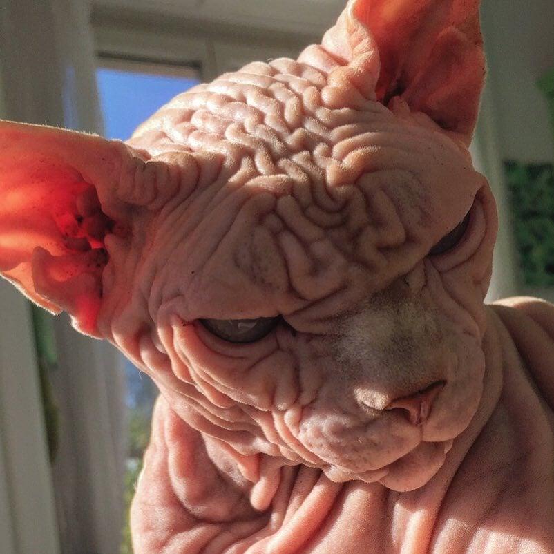 23596407 186634278553992 6808978402159099904 n - Этот кот хоть и выглядит сурово, но доброты в нём столько же, сколько морщинок на шкуре