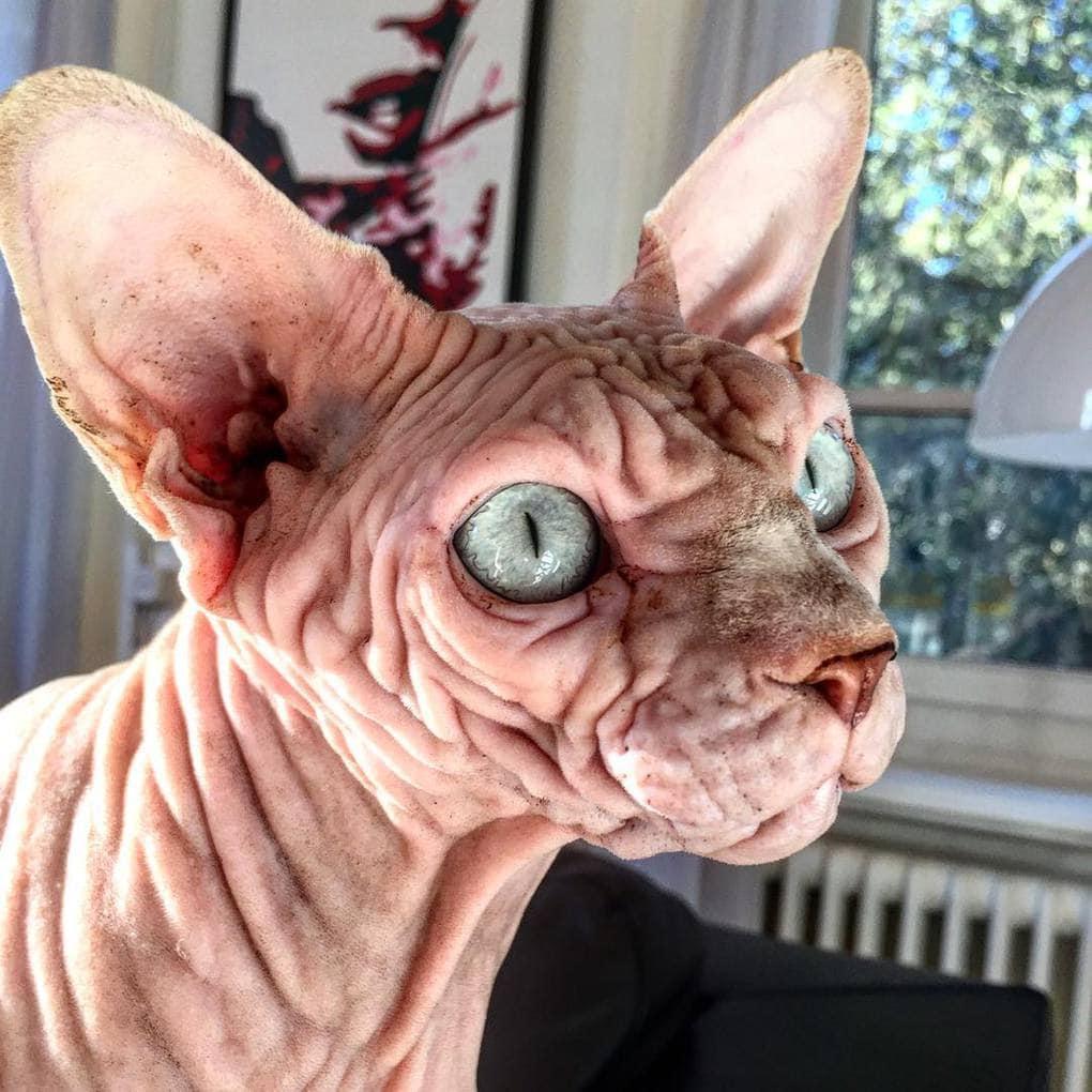 26158858 1688462664608449 6868168527581282304 n - Этот кот хоть и выглядит сурово, но доброты в нём столько же, сколько морщинок на шкуре