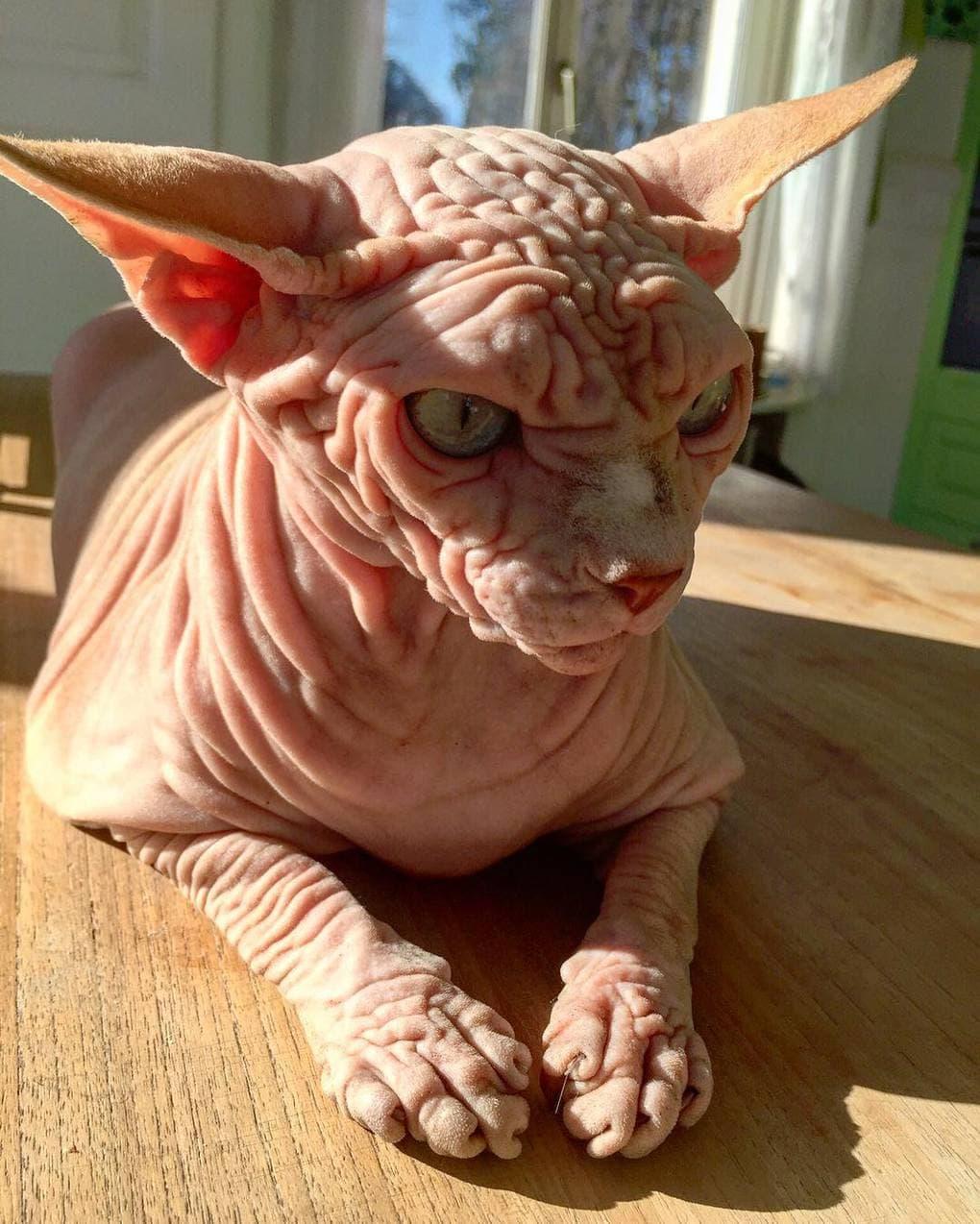 29092587 735409559986935 5126067369269002240 n - Этот кот хоть и выглядит сурово, но доброты в нём столько же, сколько морщинок на шкуре