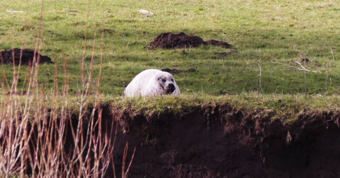 Прохожие принимали его за загорающую на солнышке овцу. Но овцой этот тюлень совсем не был