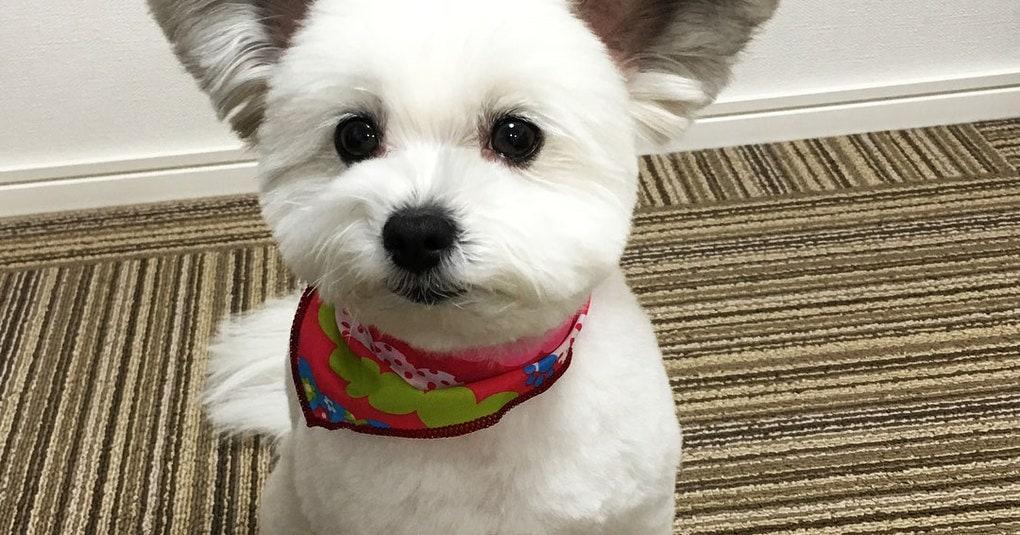 Этот милый пес мог бы быть вполне обычным, если бы не его уши. А они ему явно великоваты