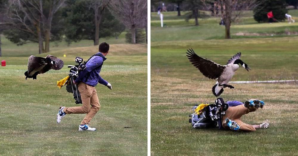 Мичиганский турнир по гольфу внезапно превратился в эпичную битву с разъярённым гусём. И гусь победил!