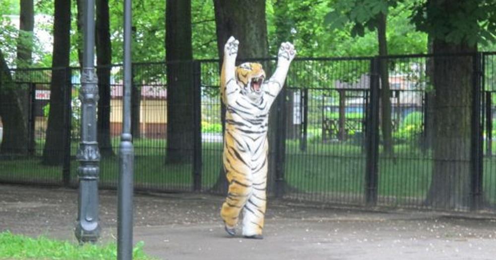 Калининградский зоопарк провёл учения по поимке сбежавшего тигра. И выглядит он действительно опасно