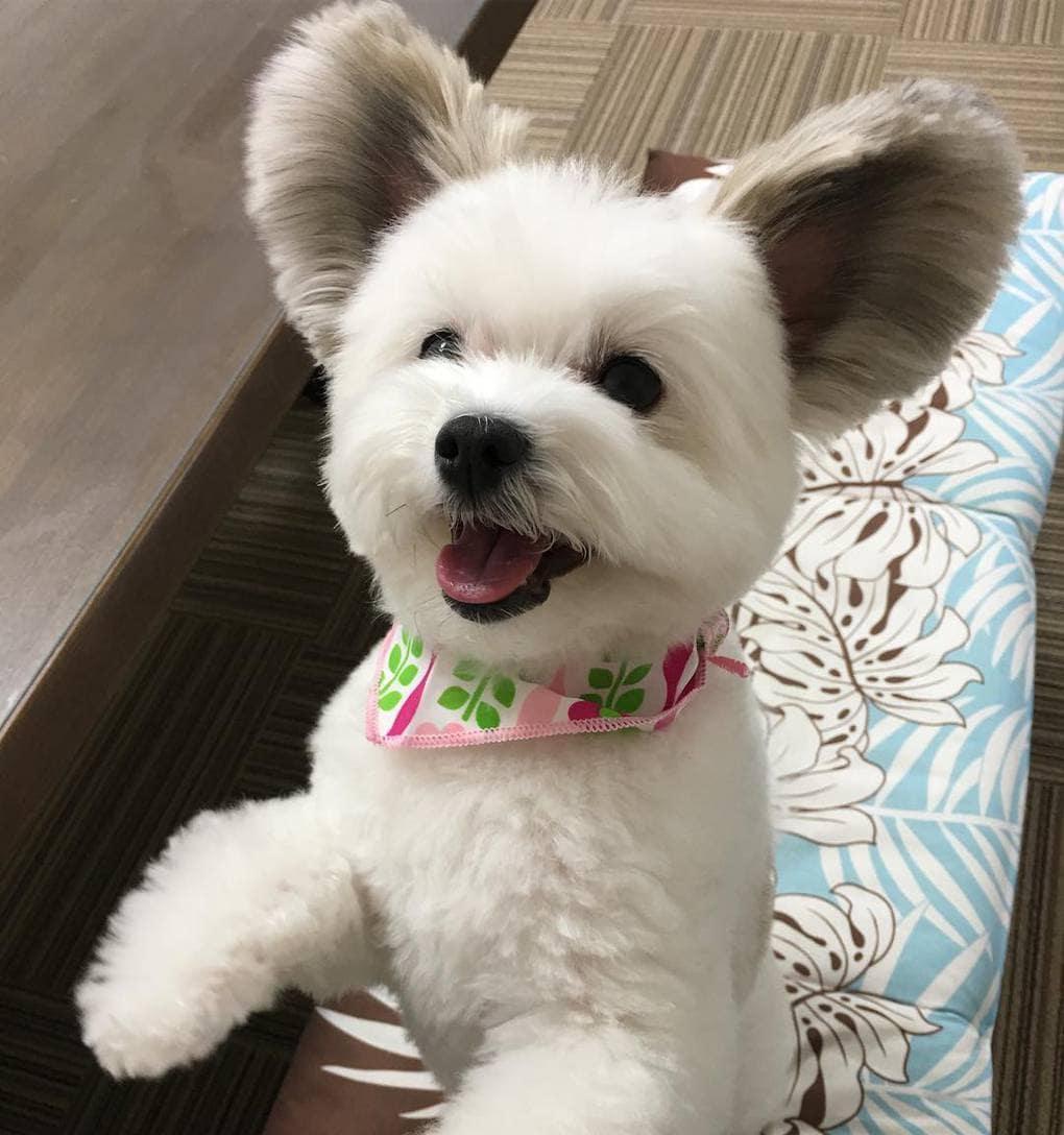 marupgoma c 16584061 677096095805308 8458659767001284608 n - Этот милый пес мог бы быть вполне обычным, если бы не его уши. А они ему явно великоваты