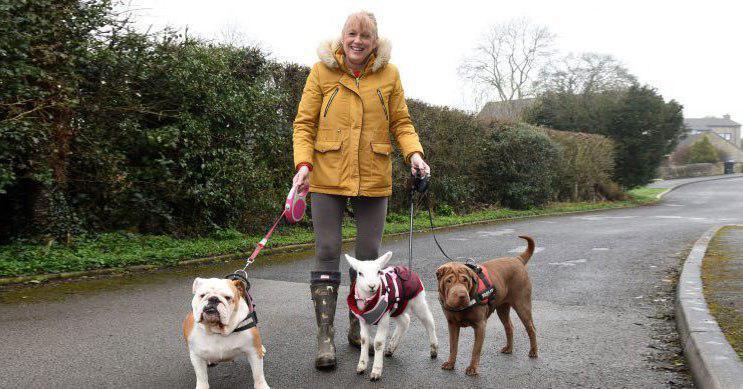Спасённая от бойни овечка три недели жила с собаками. Кажется, теперь она тоже считает себя собакой