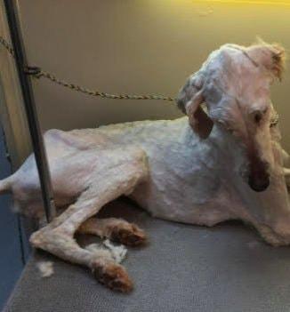 tmg article tall 1 1 - Эта собака была очень тощей и лохматой, но под грудой шерсти пряталась настоящая милашка