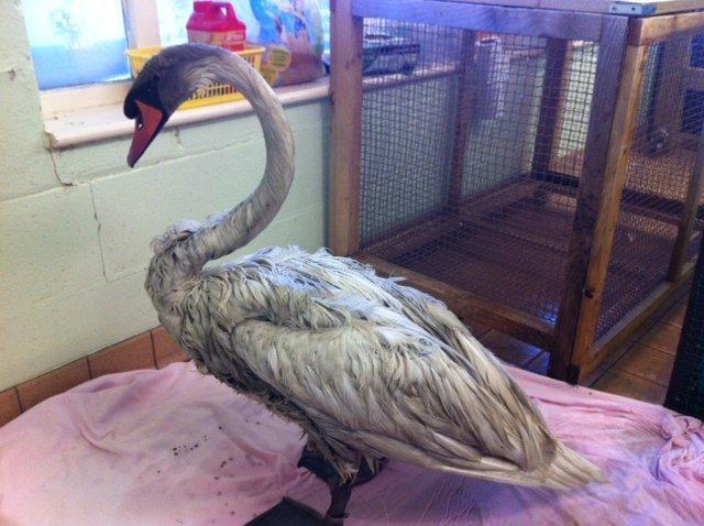 tmg article tall 2 1 - В Великобритании был спасён редкий чёрный лебедь. Но потом его отмыли