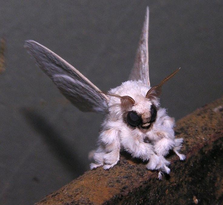 Гримпотевтис или осьминог Дамбо — ещё один милый представитель животного  мира f6b37f3967f53