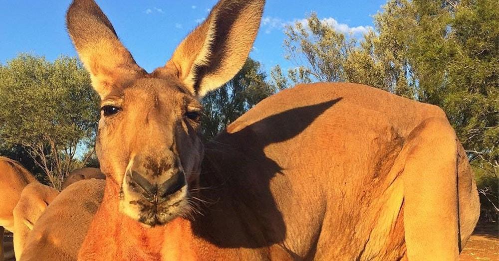 В одном из австралийских заповедников появился новый царь: 2-метровый кенгуру, который наваляет любому льву
