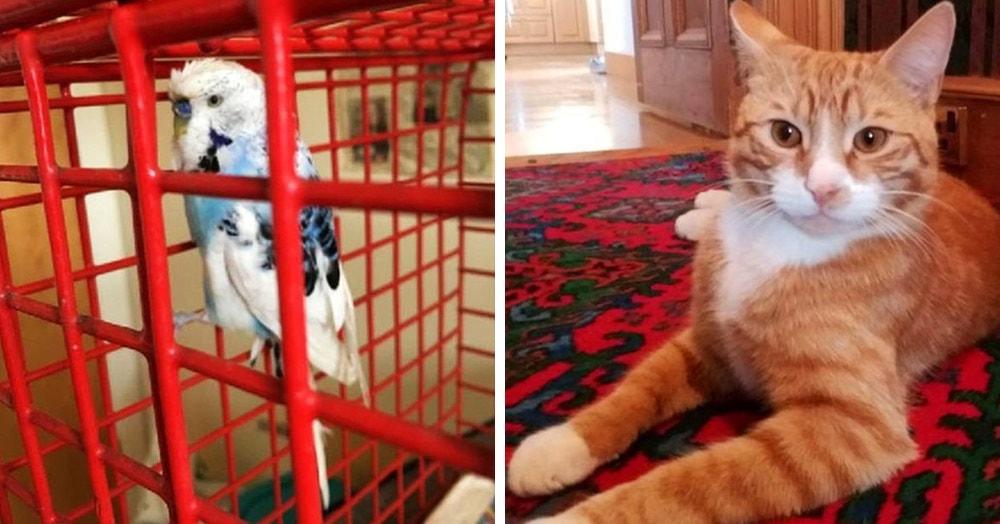Попугай улетел из клетки и мог погибнуть на воле, но был спасён котиком (который его почти сожрал)