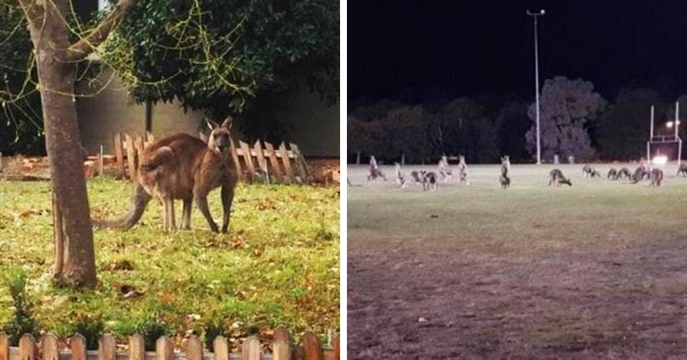 Десятки кенгуру оккупировали пригород столицы Австралии. Неужели восстание сумчатых уже началось?!