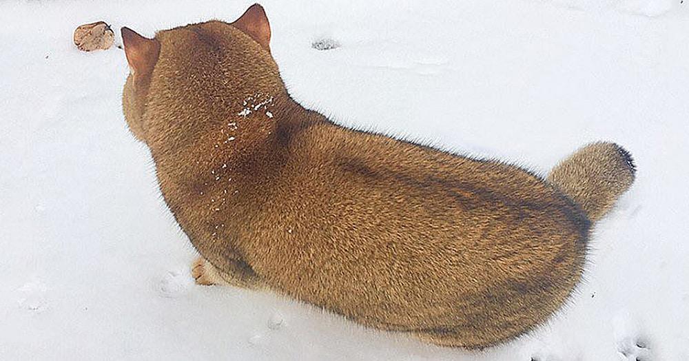 Щенок сиба-ину на этом снимке оказался не так прост, как кажется. Потому что это кот