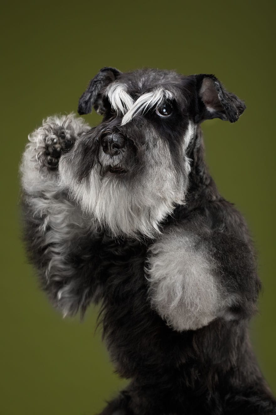 Chika, The Kung Fu Schnauzer