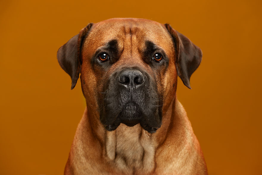 Samson, The Serious South African Boerboel