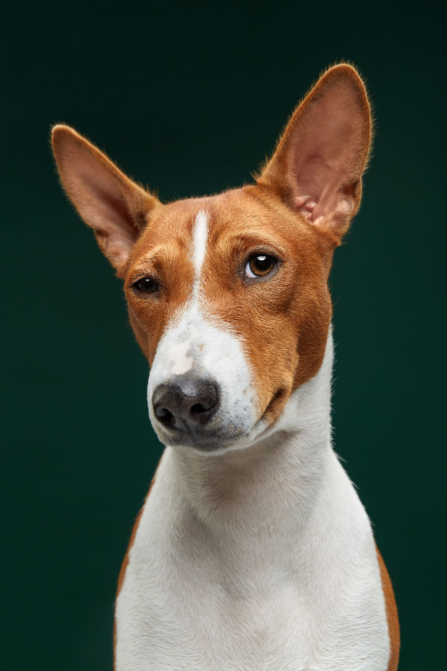 Fiji, The Basenji. Isn