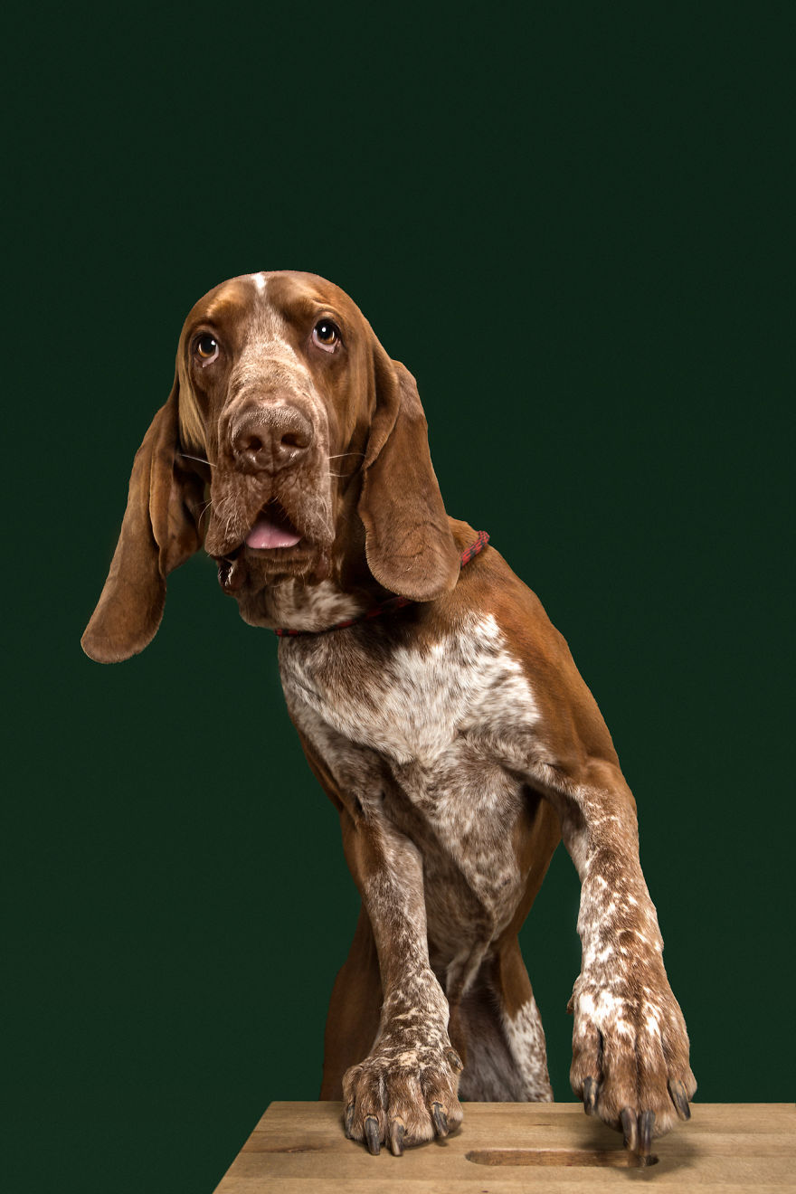 Platon, The Bracco Italiano. A Brave Hunter