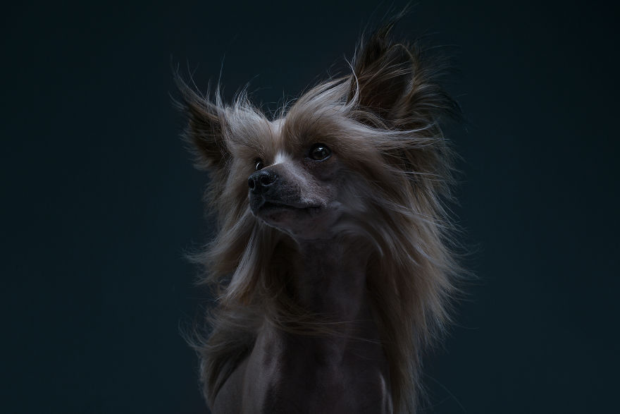 Elisey, The Chinese Crested Dog. This Guy Feels Like A Lion
