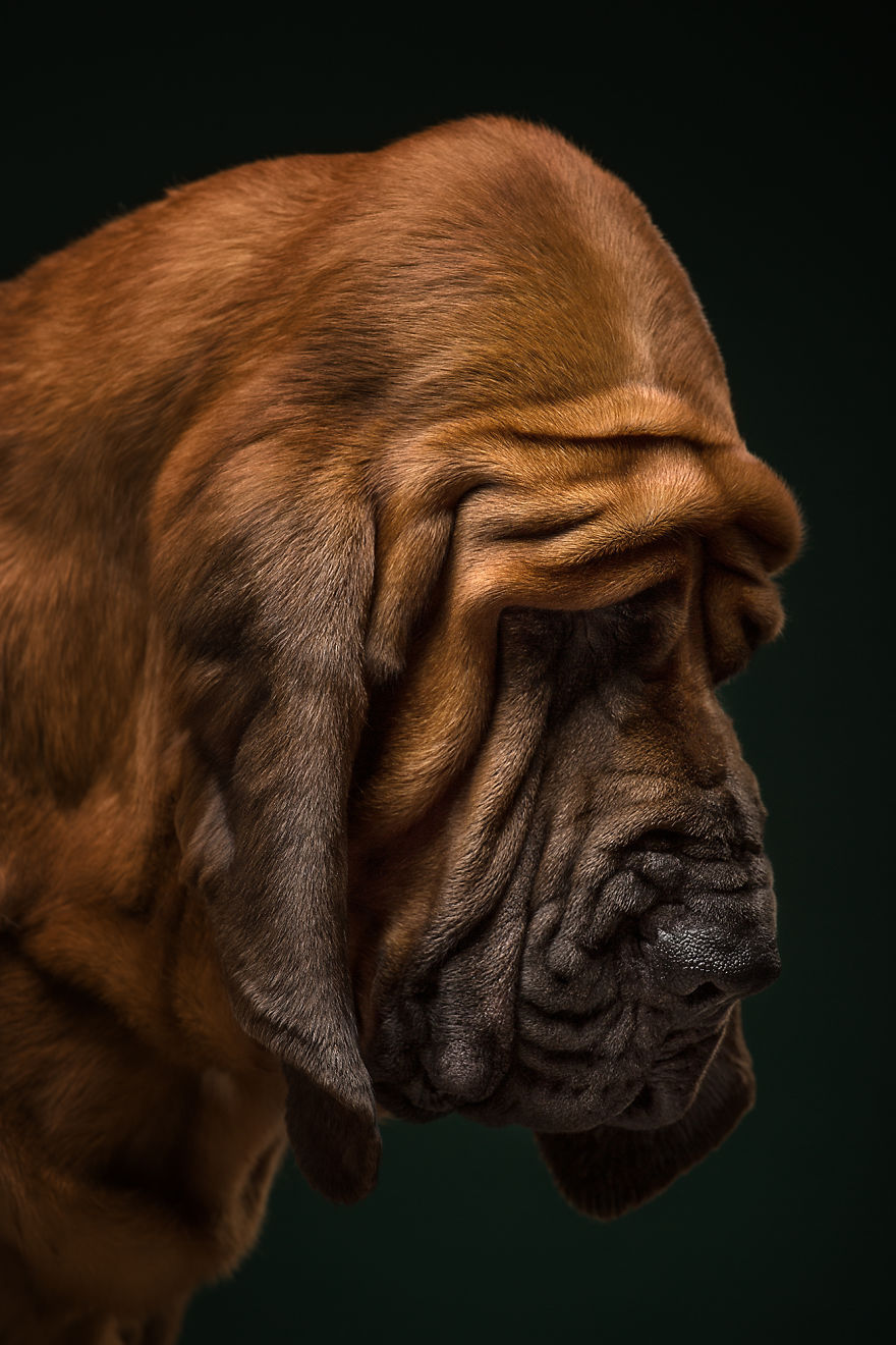 Nectar, The Bloodhound. True Detective Of The Dog World