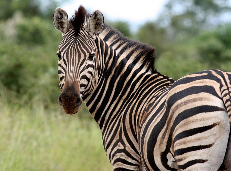 Парень нашёл в зоопарке зебр, которые выглядели очень подозрительно 14