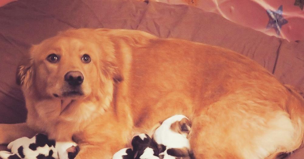 В приюте для собак родились щенки, которые ну очень похожи на телят. Собака-мать в шоке
