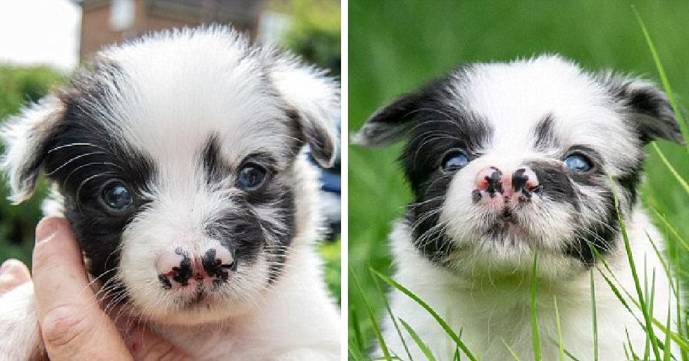 Этот милый щенок родился с раздвоенным носом и едва не умер. Но теперь он здоров и ищет хозяев