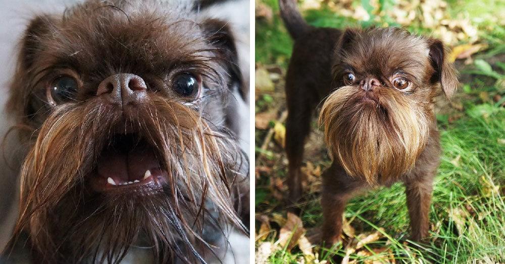 Пёс отрастил такую шикарную бороду, что его прозвали Чубаккой. И сходство определённо есть!