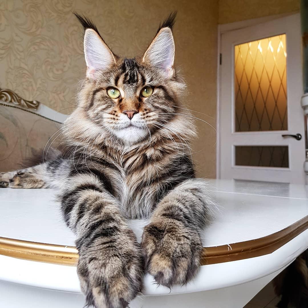 Большая домашняя кошка мейн кун фото