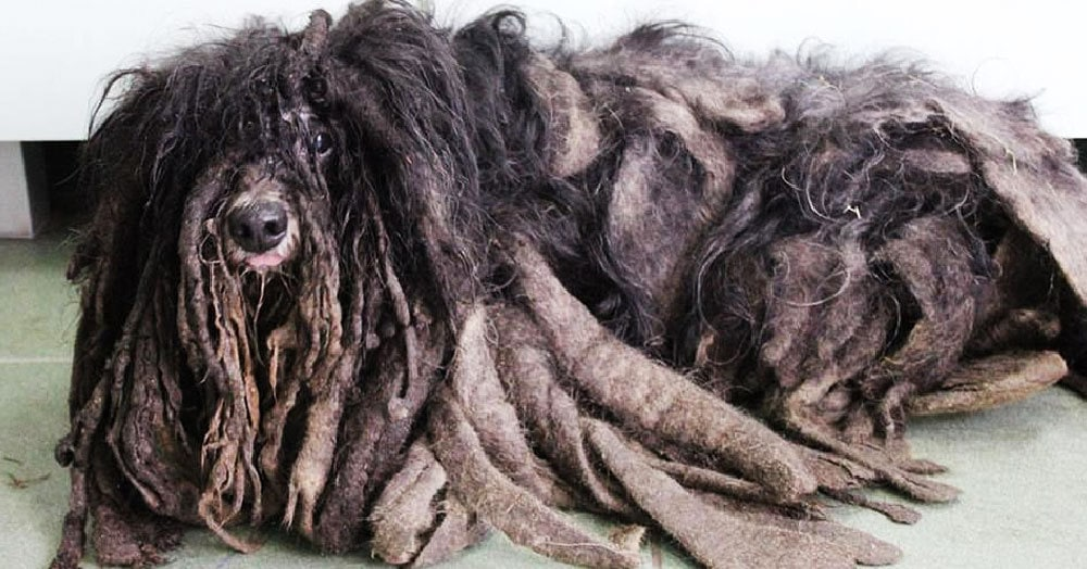 Польские зоозащитники спасли лохматого пса, который еле мог ходить, и открыли миру его славную мордаху