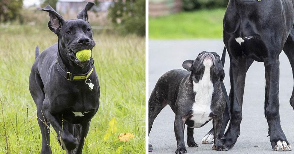 Семья взяла из приюта щенка немецкого дога, который великоват даже для своей породы. И всё ещё растёт
