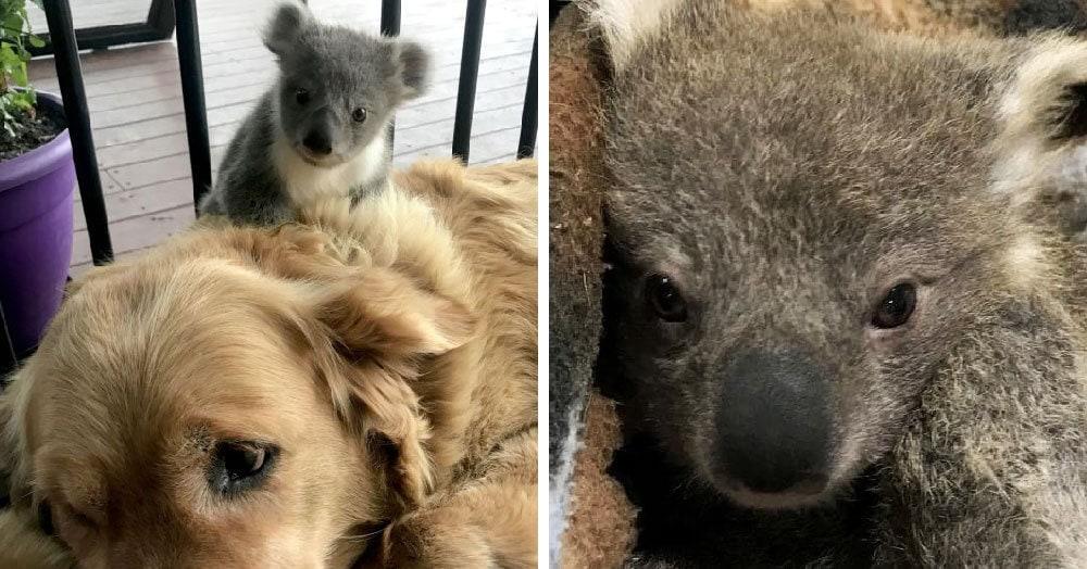 Добрая собака вернулась с прогулки не одна, а с детёнышем коалы. Такого сюрприза хозяева не ожидали