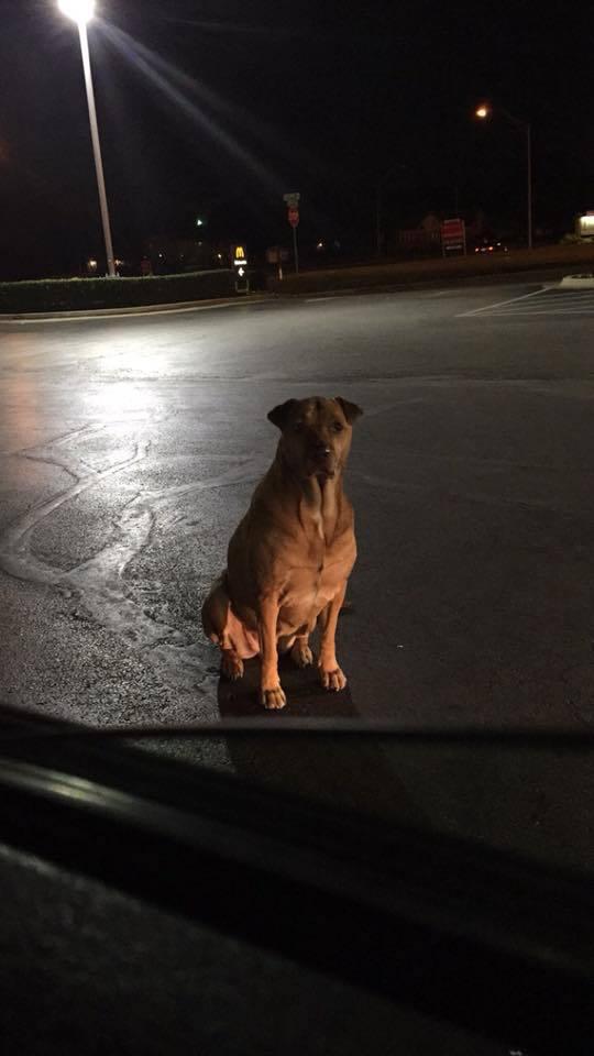 Девушка устроила слежку за своей собакой, т.к. та стала сбегать по ночам и толстеть. След привёл к Макдональдсу 3
